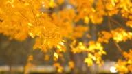 yellow maple tree among winter wind video