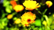 Yellow marigold video