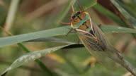 Yellow Monday Cicada 4 (Cyclochia australiasiae) video