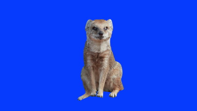 Yellow Mongoose on green and blue screen video