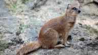 Yellow mongoose video
