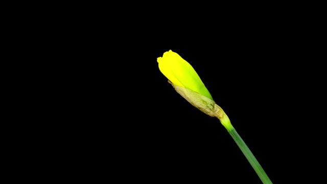 Yellow Narcissus; TIME LAPSE video