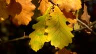 Yellow oak leaves. 4K. video