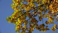 Yellow oak leaves against the blue sky. 4K. video