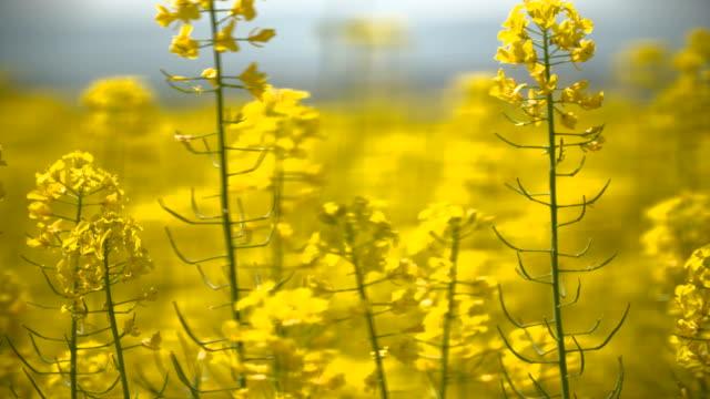 Yellow oilseed rape field. video