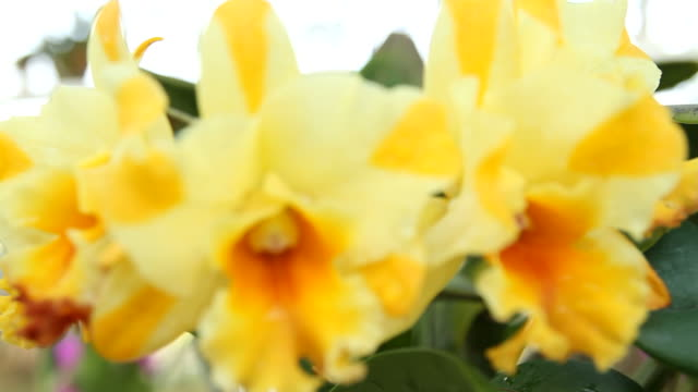 Yellow Orchid video