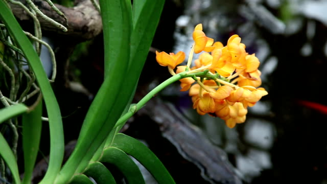 HD CLOSE UP: Yellow orchid's blossom video