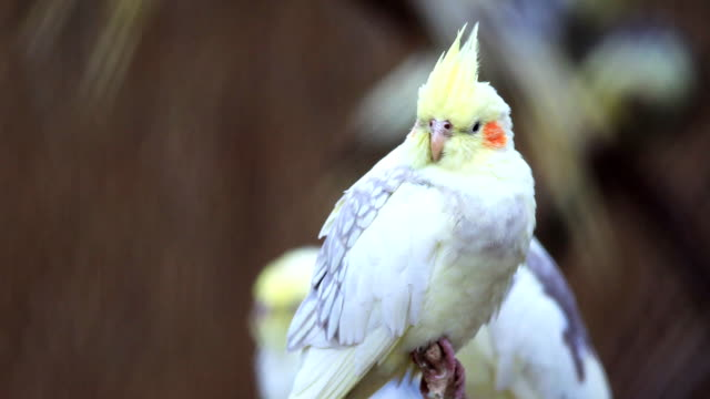Yellow parrot. video