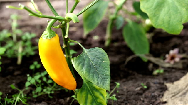 Yellow pepper in hothouse video
