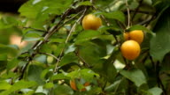 Yellow plums in the forest. video