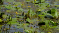 Yellow pond lily leaves in wind video