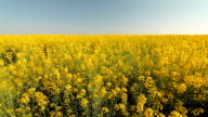 Yellow rape field and blue sky in summer video