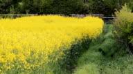 Yellow rape flowers growing in a field video