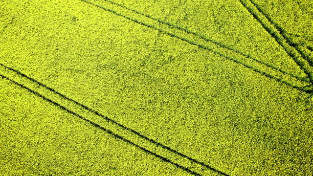 Yellow rapeseed field against a blue sky video