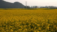 Yellow rapeseed flower field in Luoping, China video