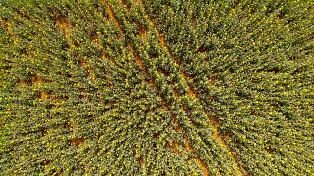 Yellow rapeseed flower field video