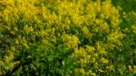 Yellow rocker cress, waving on spring wind. video