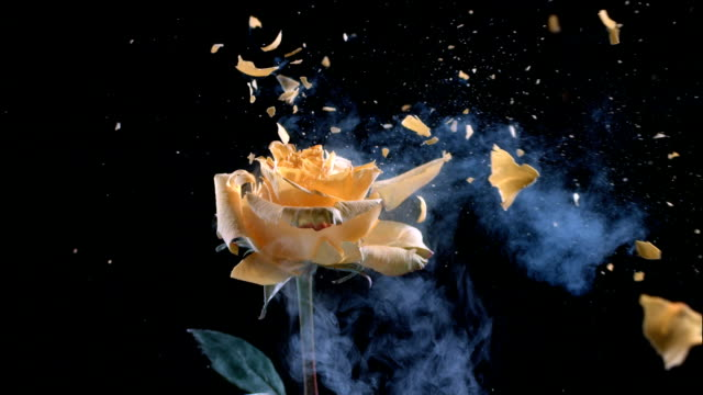 Yellow rose explodes in slow motion. video