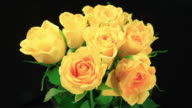 Yellow roses blooming and decaying video
