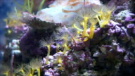 Yellow Sea anemone in natural environment. video