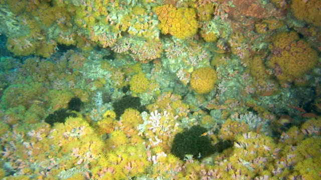 yellow soft coral video