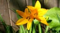 Yellow Star-of-Bethlehem (Gágea lútea). video