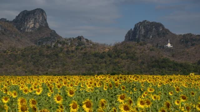 yellow sunflower at wat khao jeen lae,  Lopburi, Thailand video