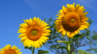 Yellow Sunflower Heads on Blue Sky Backgrounds video
