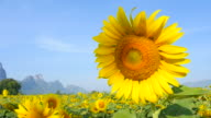 Yellow Sunflower Heads with Blue Sky Backgrounds video