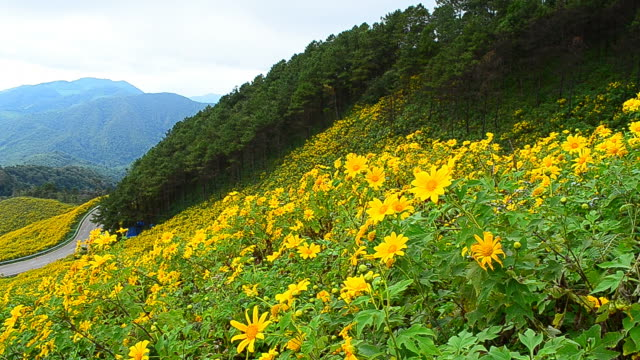 Yellow Sunflower Meadows on High Mountain in Spring Season video