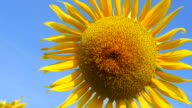 Yellow Sunflower Pollens and Petals with Blue Sky Backgrounds video