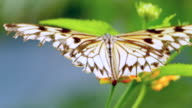 4K Yellow Swallowtail Butterfly, Old Damaged Wings video