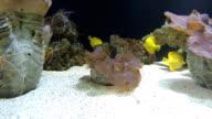 Yellow Tang swimming video