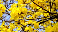 yellow tree flower with clear sky for background. video