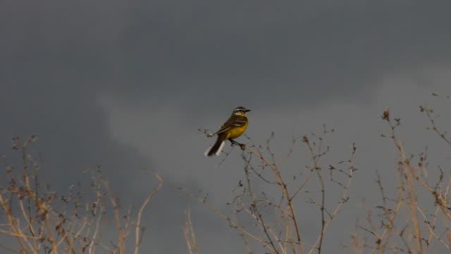 Yellow Warbler video