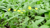 yellow Wood Anemone video