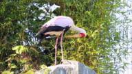 Yellow-Billed Stork video