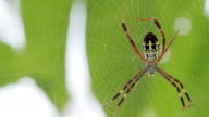 Yellow-black spider in her spiderweb - Argiope bruennichi video