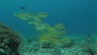 Yellowfin goatfish schooling, coral reef, undersea video
