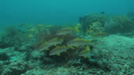 Yellowfin goatfish schooling in the coral reef video