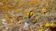 Yellow-rumped flycatcher (Ficedula zanthopygia) in nature video