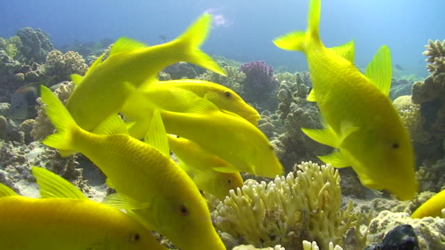 Yellowsaddle goatfish video