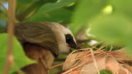 Yellow-vented Bulbul feeding baby birds video