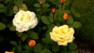 Yellow-white Irish rose 1 video
