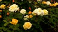 Yellow-white Irish rose 2 video