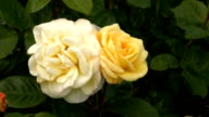 Yellow-white Irish rose 3 video