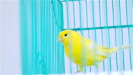Yelow Bird on a blue cage video