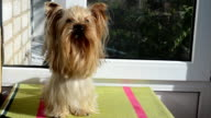 Yorkshire terrier and sunshine. video