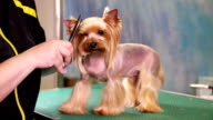 Yorkshire terrier dog grooming at pet salon video