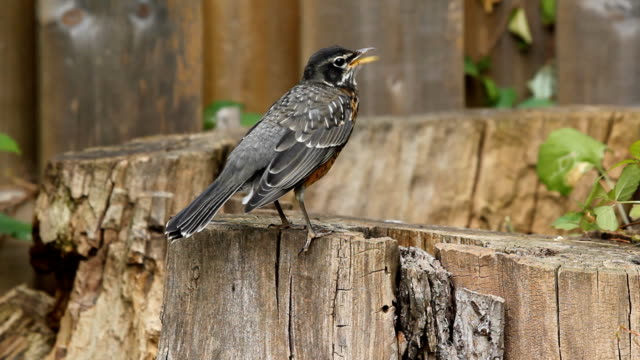 Young American Robin. video